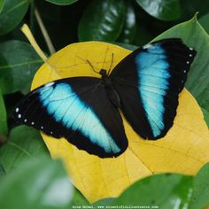 Morpho Achilles Butterfly, Photographs of, by Gina Mikel        Morpho Achilles Butterfly                                                    Keywords related to art on this page: morpho achilles butterflies, invertebrate, images, insect, photography, butterfly, picture, image, pictures, insects, photographer, photos, invertebrates, photograph