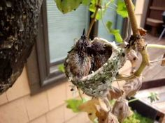 This is story of how a man-made hummingbird's nest was fashioned to save a hummingbird family from near disaster. The original nest was infested with bird mites which drove the baby chicks to abandon their nest. One of the baby hummers fell to the. Humming Bird Feeders, Humming Birds, Flowers That Attract Hummingbirds, Hummingbird Nests, Bird Houses Diy, Baby Chicks, Hummer, Walkway, Feathers