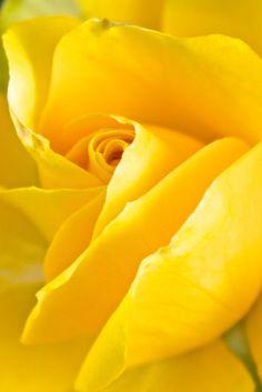 ...bright yellow rose!