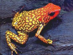 Frog Song, Land Turtles, Amazing Frog, Poison Dart Frogs, Funny Frogs, Green Frog, Frog And Toad, Reptiles And Amphibians, Animal Wallpaper