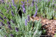 Lavender Garden- Recipes & DIY projects using this amazing herb!  #lavender
