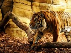The ever new collection of tiger hd wide free wallpaper
