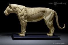 Lion Anatomy model, approx long desktop size, superficial muscle on one side, skin & flesh on the other side. It represents the average size lion at scale, or record size lion at scale. Lion Anatomy, Animal Anatomy, Anatomy Study, Anatomy Drawing, Anatomy Reference, Pose Reference, Animal Sculptures, Lion Sculpture, Zbrush Anatomy