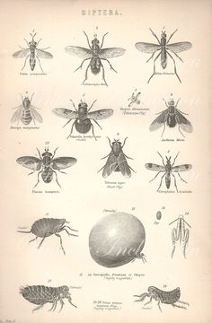 VINTAGE Insect print, insects flying flies engraving print decor