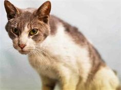 JACK – A0946561 - 5yrs NEUTERED MALE, GRAY TABBY / WHITE, DSH *RETURN* Poor Jack is only 5 yrs old - was found on street - emaciated, dehydrated, has a wound on left thigh - needs further medical eval - cat is very weak and has trouble standing due to condition