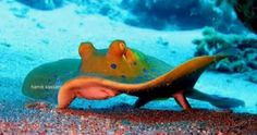 Blue Spotted Sting ray - by Hamdi Kassem #Stingray