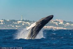 Humpback spotted in Bermuda || Image source: http://www.dailymail.co.uk/travel/article-3403660/There-s-lots-Bermuda-Triangle-shorts-Eight-fantastic-terrifying-reasons-head-Atlantic-island.html