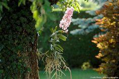 Vanda : Les racines aériennes des Vanda sont recouvertes d'un voile blanc, le velamen, qui joue un rôle d'éponge en absorbant l'humidité. Les racines deviennent vertes lorsqu'elles sont gorgées d'eau puis virent à nouveau au blanc argenté en séchant, signe qu'il faut à nouveau arroser. Cactus, Diy Pumpkin, Culture, Halloween Pumpkins, Orchids, Lanterns, Dandelion, Flowers, Plants