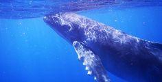 Zwemmen met walvissen op Tonga!