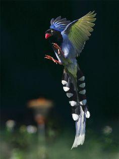 Taiwan Blue Magpie