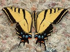 Arizona's Two-tailed swallowtail butterfly - click to see more state butterflies