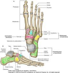 partes planta pie humano