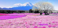 "SHIBAZAKURA HILL, JAPAN In springtime, the fields at the base of Mount Fuji errupt with hundreds of thousands of moss blooms, or ""shibazakura"", in varying shades of pink."