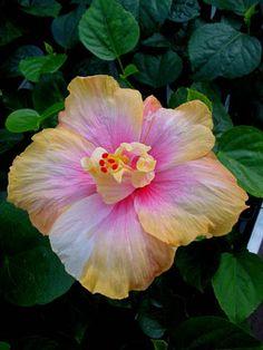 Hibiscus Futurama