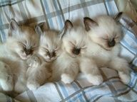 I want Siamese cats so badly! Cats take my sadness away whenever I see them Cudly cudly kittens! Cute Kittens, Siamese Kittens, Animal Gato, Mundo Animal, Baby Animals, Funny Animals, Cute Animals, Pretty Cats, Beautiful Cats