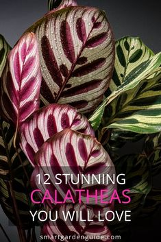 These 12 beautiful calathea varieties will take your breath away. Grown as indoor foliage plants and more beautiful than many flowering houseplants. Read my run down of these 12 beautiful calatheas and decide which one is your favorite. House Plants Decor, Plant Decor, Outdoor Plants, Garden Plants, Calathea Orbifolia, Prayer Plant, Smart Garden, Unique Plants, Garden Guide