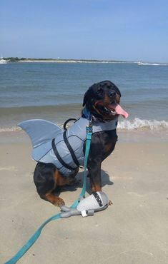 A land shark spotted on the coast! Puppies And Kitties, Cute Puppies, Cute Dogs, Big Dogs, Doggies, Rottweiler Breed, Rottweiler Love, Cute Dog Costumes, German Dog Breeds