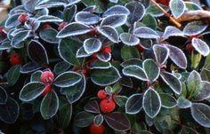 Осенью молодые растения прикрывают сухой листвой, а взрослые мульчируют щепой и торфом. Зимой на кустик набрасывают побольше снега. Рано весной укрытие снимают, мульчу отодвигают в сторону, чтобы не допустить выпревания корневой шейки. После оттаивания земли растение подкармливают гранулированным комплексным удобрением с микроэлементами.
