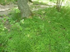 Skogsskafferiet.se - Harsyra Plants, Lawn And Garden, Plant, Planting, Planets