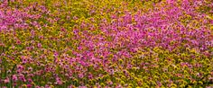 WAN-0027470 © WestPix Wildflowers in full bloom at Coalseam Conservation Park…