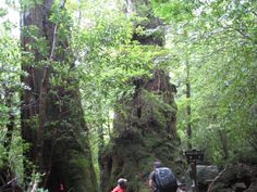 翁杉。台風で木の上部が折れる前。