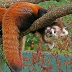 So guys, the Red Panda is my new favorite animal.