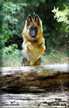 German Shepherd ~  He is a beauty!