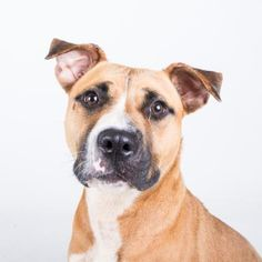 Revayah - URGENT - Dekalb County Animal Shelter in Decatur, Georgia - ADOPT OR FOSTER - 2 year old Female Am. Pit Bull Mix - Revayah is a happy, sweet girl who is enthusiastic about making new friends. She seems to love everyone! She knows her sit command and would love to learn more. Her adoption includes her spay, microchip, vaccinations, and more!
