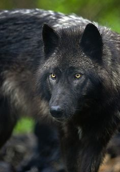 Beautiful black wolf!