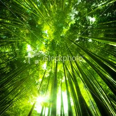 http://www.istockphoto.com/stock-photo-14949498-asian-bamboo-forest.php?st=bee9bbe
