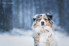 Love snow..and aussies by aussiefoto on DeviantArt