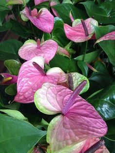 Seeds & Bulbs Yard, Garden & Outdoor Living 100 Mix Anthurium Andraeanu Seeds Indoor Potted Flowers Anthurium Plant