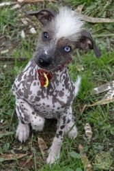 China is an adoptable Chinese Crested Dog Dog in Seaford, VA. China is a beautiful, unique hairless mix... and a puppy through-and-through. She's about seven months old, playful, affectionate, happy, ...