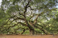 Angel Oak Live Oak Tree     1400 year old Live Oak Tree with 1700 square ft canopy. - I think my dream home would be a grand old plantation  home with rows of live oaks leading up to it. - Beautiful!