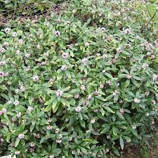 Lonicera nitida 39 red tips 39 boxleaf honeysuckle exposure for Arbuste daphne odora aureomarginata