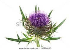 thistle isolated on a over white background - stock photo