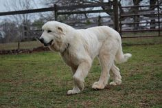Rhapsody - GreatPyrAtlanta.com - Great Pyrenees Rescue Organization Serving Atlanta and the Southeast: Available Dogs