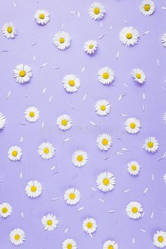 Flowers Composition. Pattern Made Of Chamomiles, Petals On Pastel Purple Background. Spring, Summer Concept. Stock Photo - Image of blossom, design: 144695810