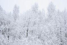 White Winter Wonderland - Tree Tops.