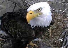 Decorah Eagle on Ustream