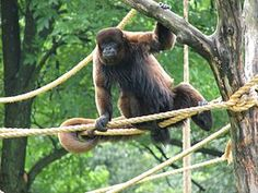 Macaco-barrigudo ( Lagothrix lagotricha)