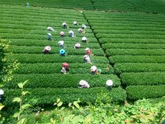 Central Taiwan Spring Tea Harvest 2016: A Pictorial - Eco-Cha