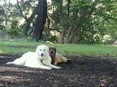 Tibe, my mareema, and seppie, my italian mastiff xxx