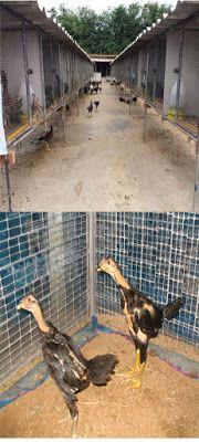 Ayam Juara: Cara Merawat Anak Ayam Bangkok Agar Kuat dan Tangg...