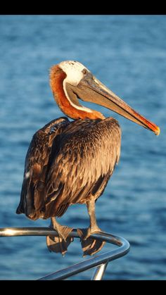 A brown pelican in the fading sunlight in The Galápagos Islands