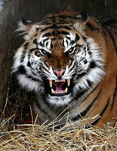 tiger Angry tiger - -Angry tiger - - Leao azul Large cats like lions may roar to help mark out their territory or scare away competing predators. Domestic cats, meanwhile, may purr to show contentment or even to calm themselves.
