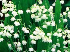Lily of the Valley....reminds me of my PopPop's side yard :)