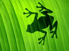 Green Frog Shadow Behind a Leaf