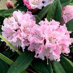 Hybrid Rhododendron - 'Christmas Cheer' - This is a great plant if you love rhododendrons and you want to extend their season of interest in the garden. That's because they often start to bloom in late winter and are at their best in early spring - a good few weeks before most of their counterparts. They are pretty too, with trusses of pink buds opening to blush-coloured flowers that fade to creamy white as they age.