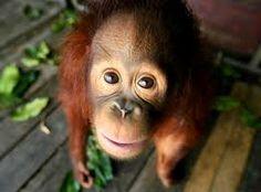 Saving The Orphaned Orangutans Of Malaysia Save The Orangutans, Baby Orangutan, Primates, Endangered Species, Animal Rights, Habitats, Monkey, Wildlife, Cute